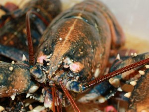 Grossiste en homards vivants