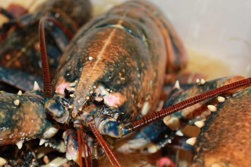 gros homard breton