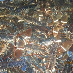 homard-europeen-vivant-acheter-01